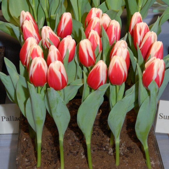 Tulipa Triumph 'Aspen'