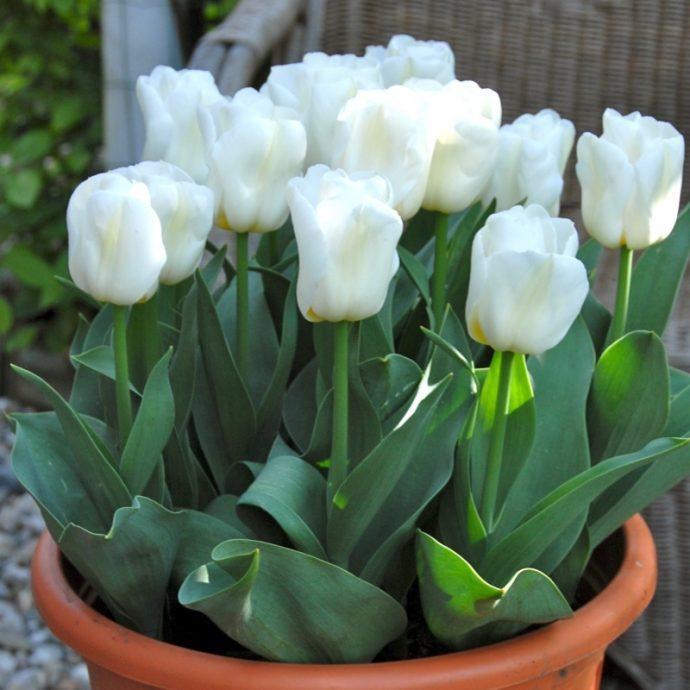 Tulipa Triumph 'Calgary'