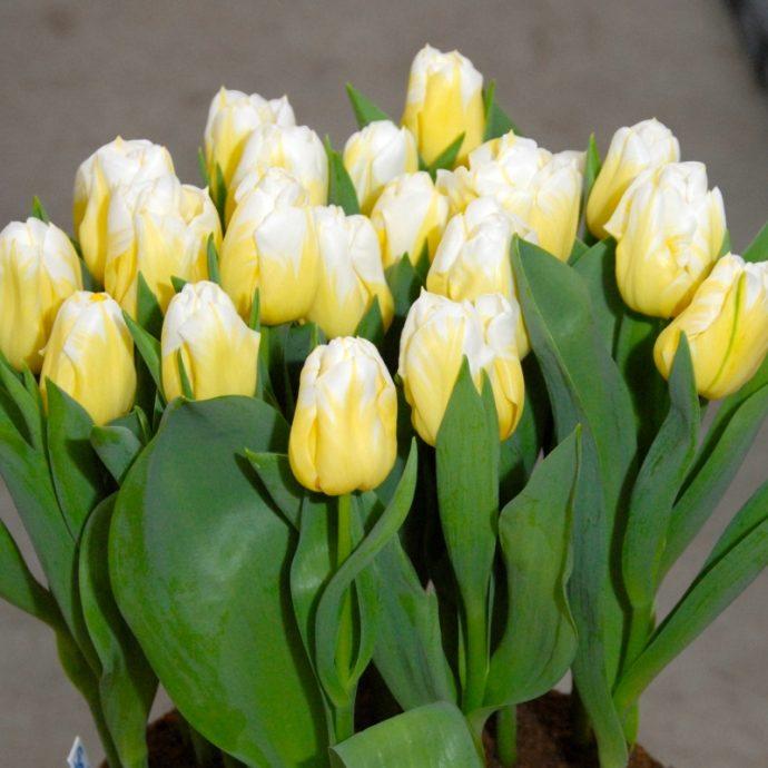 Tulipa Triumph 'Calgary Flames'