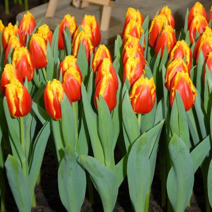 Tulipa Fringed 'Davenport'