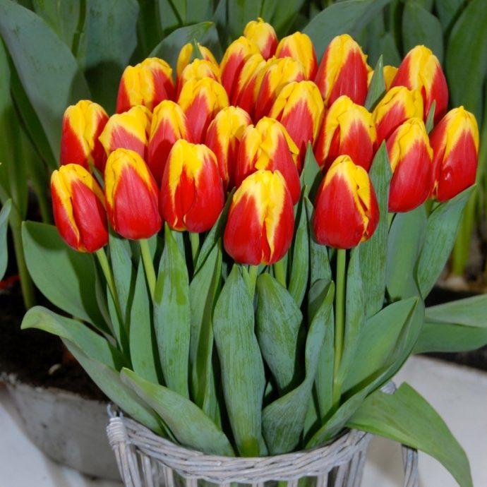 Tulipa Triumph 'Denmark'