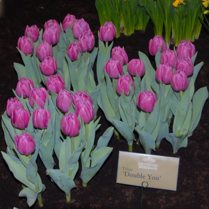 Tulipa Double Late 'Double You'