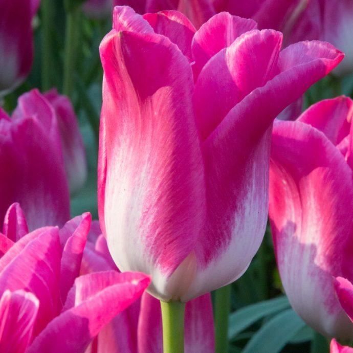 Tulipa Triumph 'Dynasty'