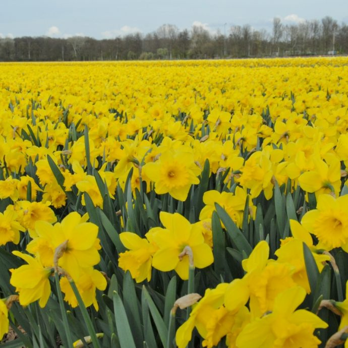 Narcissus Trumpet 'Exception'