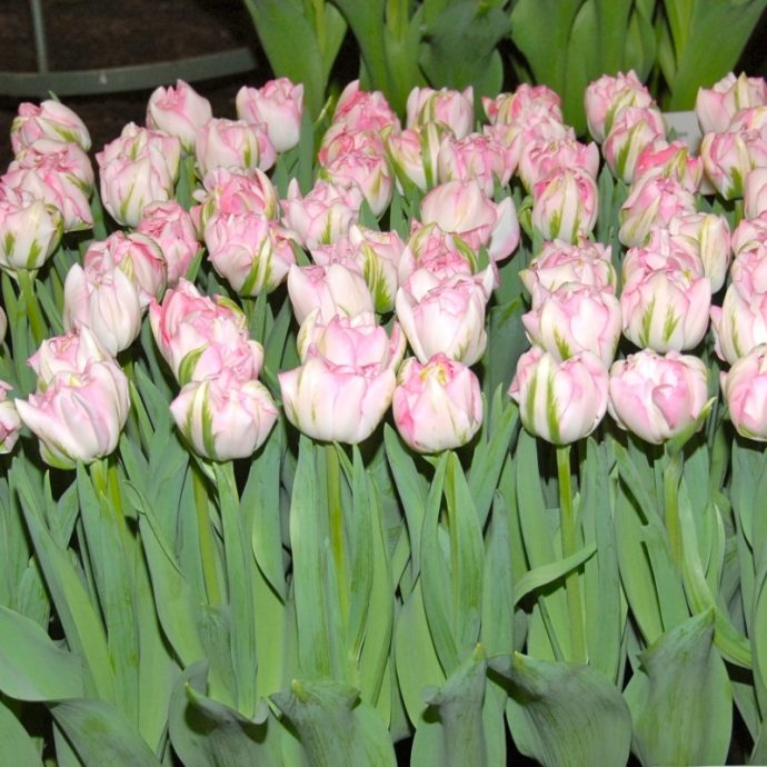 Tulipa Double Late 'Finola'