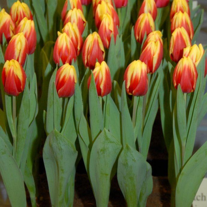 Tulipa Triumph 'Jan Seignette'