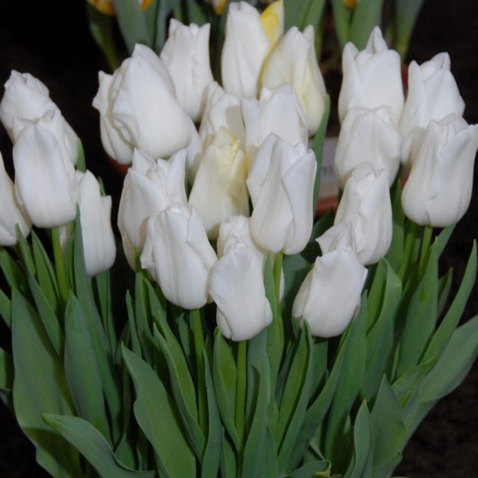 Tulipa Triumph 'Kiwanis'
