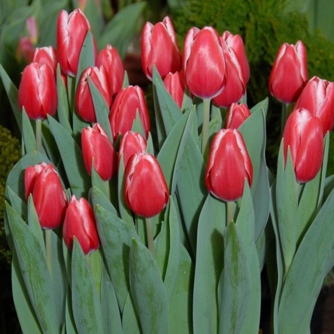 Tulipa Triumph 'Kung Fu'