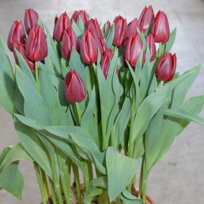 Tulipa Triumph 'Pallada'