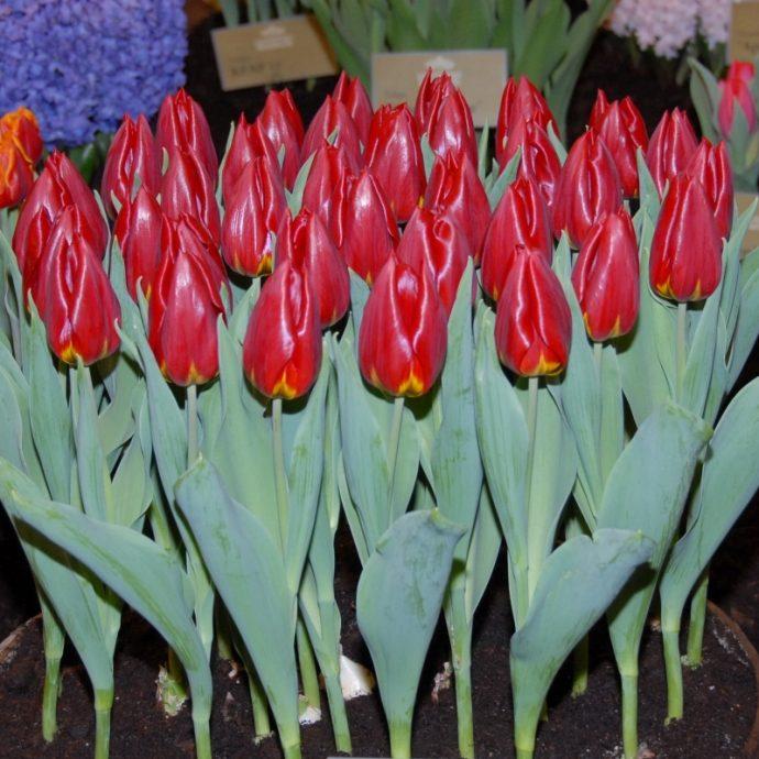 Tulipa Triumph 'Rea'