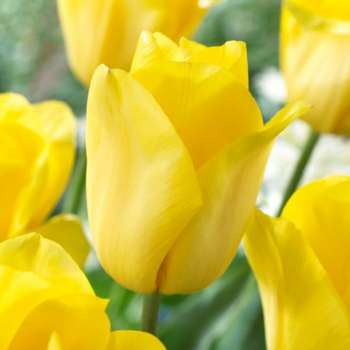 Tulipa Triumph 'Strong Gold'