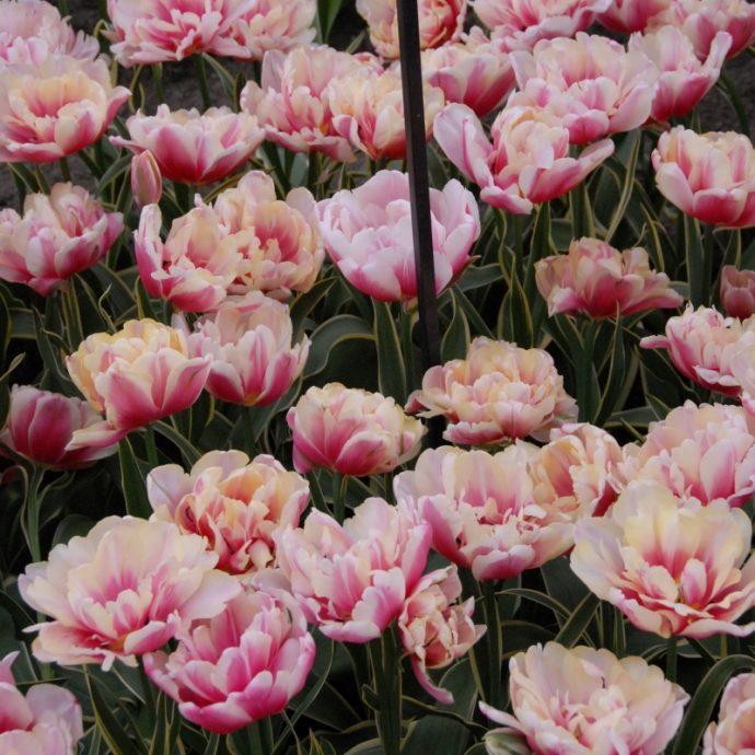 Tulipa Double Late 'Top Lips'