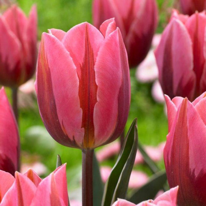 Tulipa Single Early 'Pretty Princess'