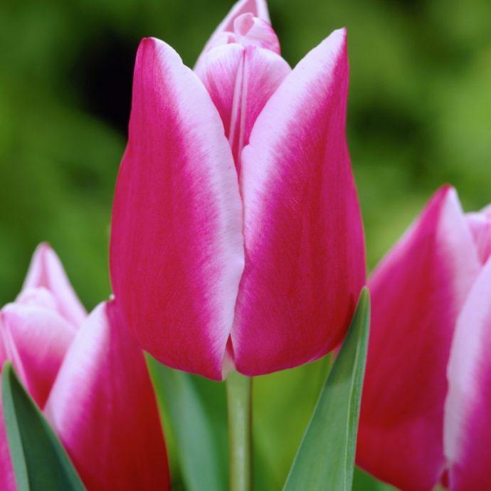 Tulipa Triumph 'Leo Visser'