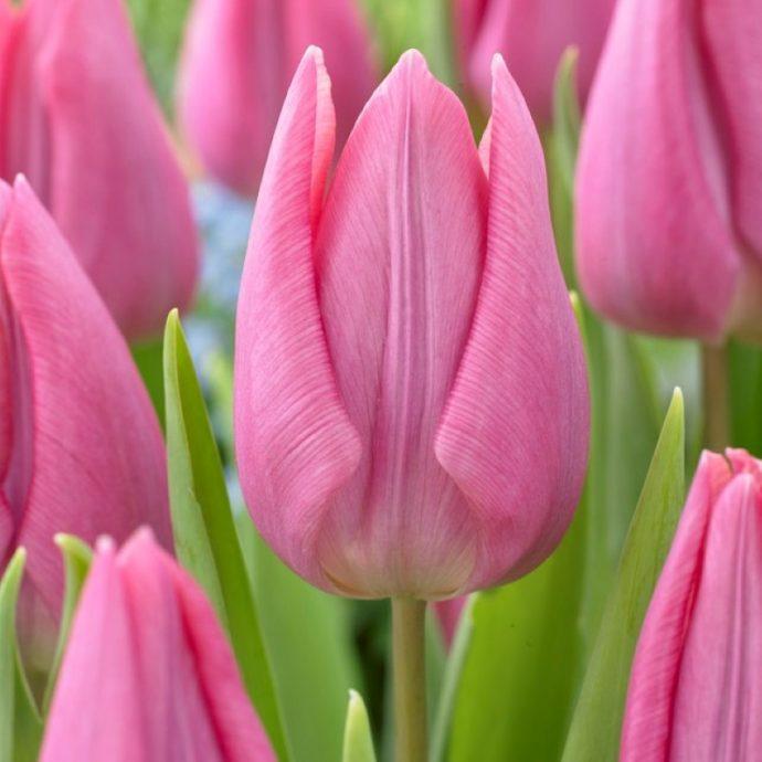 Tulipa Triumph 'Delta Sugar'