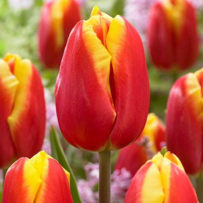 Tulipa Triumph 'Dow Jones'