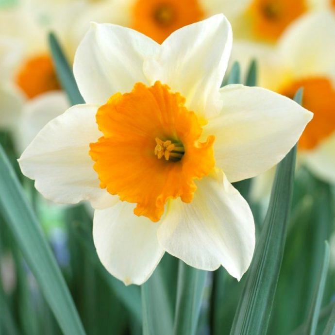 Narcissus Large Cupped 'Sempre Avanti'