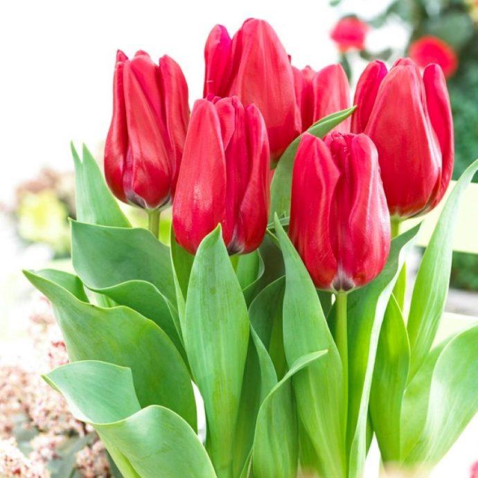 Tulipa Triumph 'Dominiek'
