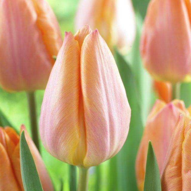 Tulipa Triumph 'Salmon Prince'