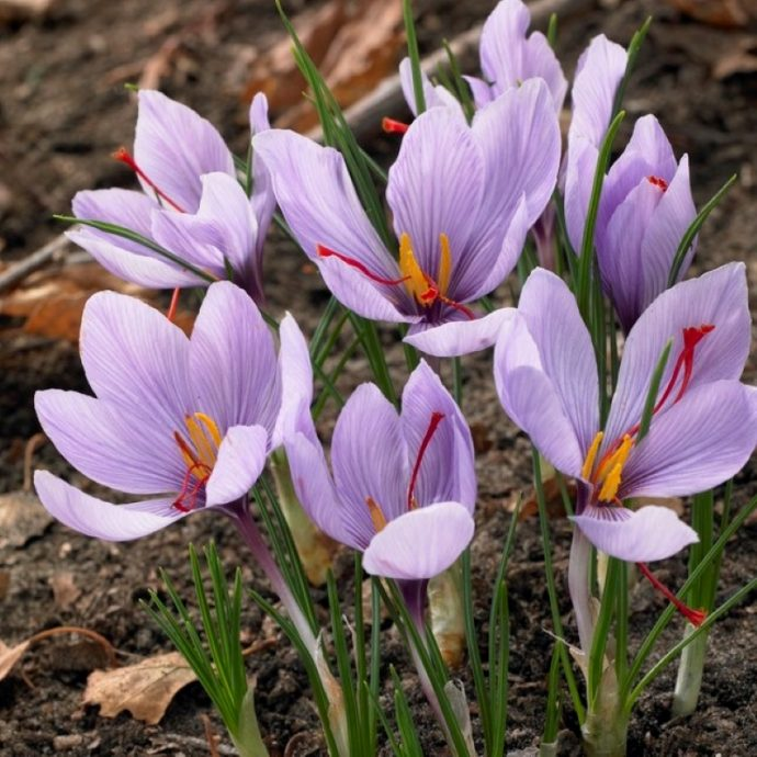 Crocus Autumn Flowering 'Sativus'