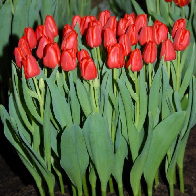 Tulipa Triumph 'West Frisian Fire'