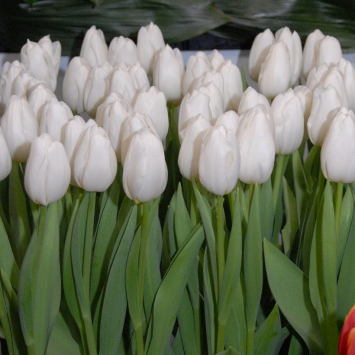 Tulipa Triumph 'White Dynasty'